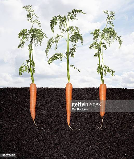 Row of organic carrots growing in soil.