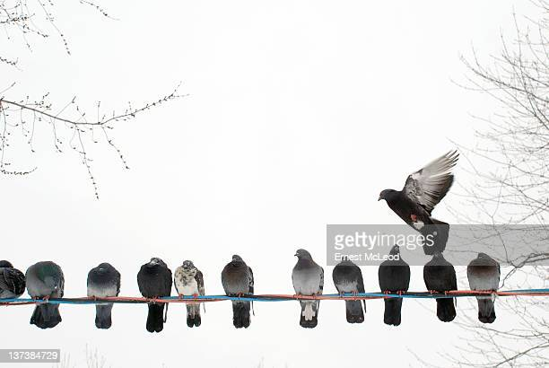 Row of pigeons on wire