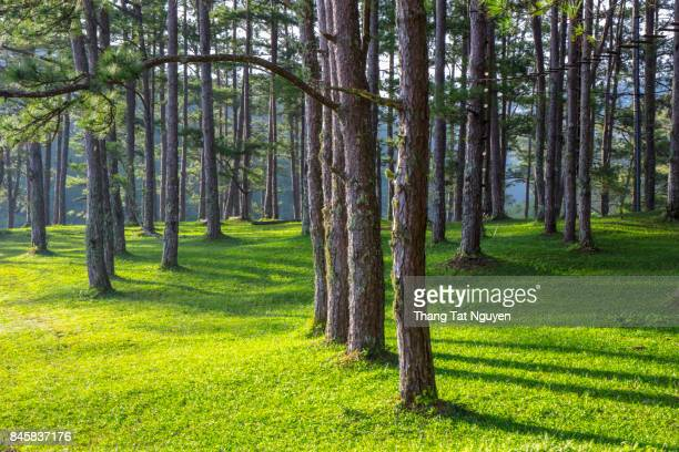 Row of pine tree in sunlight
