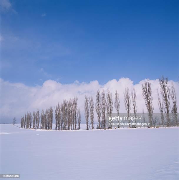 A Row of Poplar Trees in a Snowy Field. Hokkaido, Japan