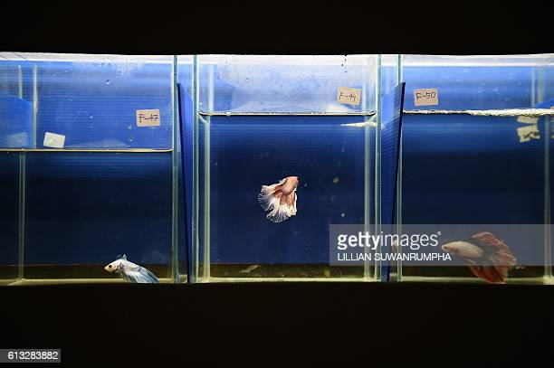 A row of prizewinning Siamese fighting fish are seen in glass tanks at a tropical and ornamental fish exhibition in Bangkok on October 8 2016 / AFP /...