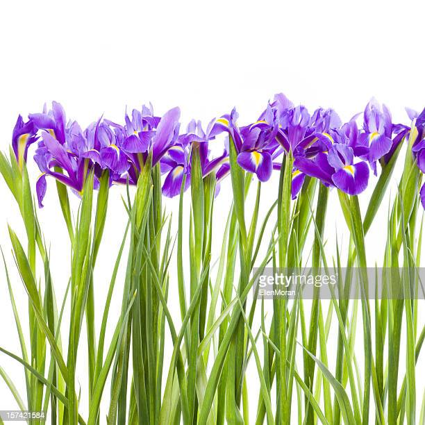 Row of purple Iris flowers with green stems over white