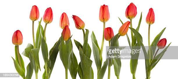 Reihe von roten Tulpen