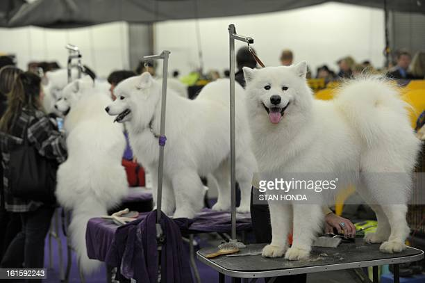 A row of Samoyeds are groomed at the Westminster Kennel Club Dog Show February 12 2013 in New York AFP PHOTO/Stan HONDA