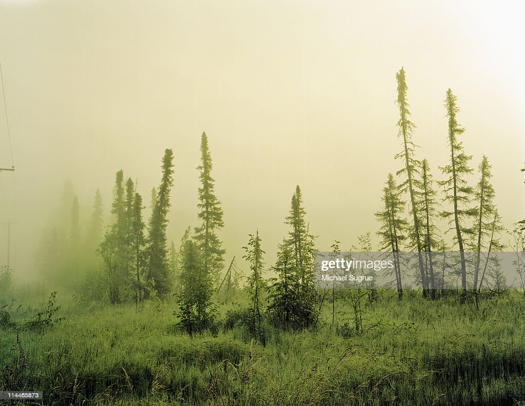 A row of sapling trees in the fog in Alaska. : Stock Photo