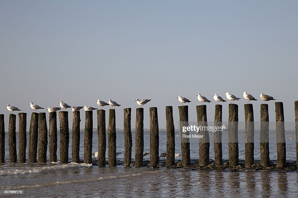Row of seagulls on poles of groin
