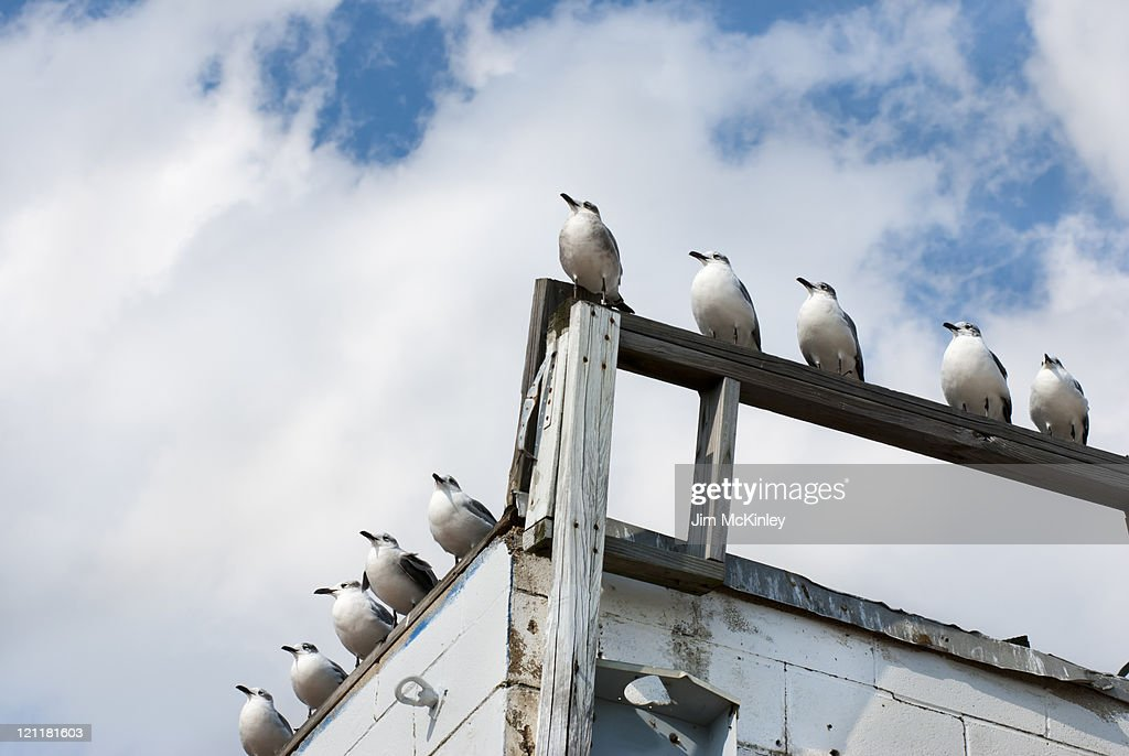 Row of seagulls : Stock Photo