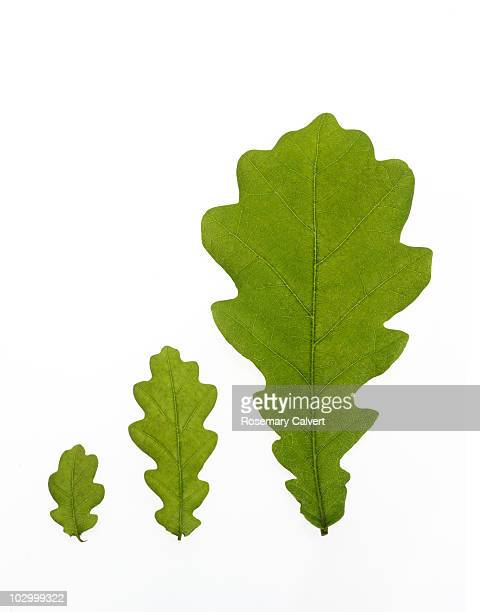 Row of three oak leaves in increasing size.