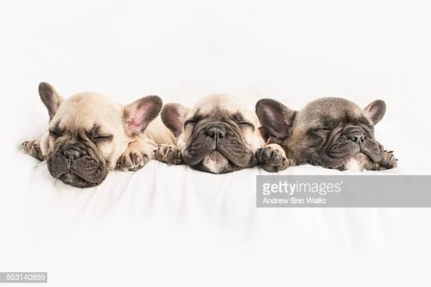 Row of three sleeping French Bulldog puppies
