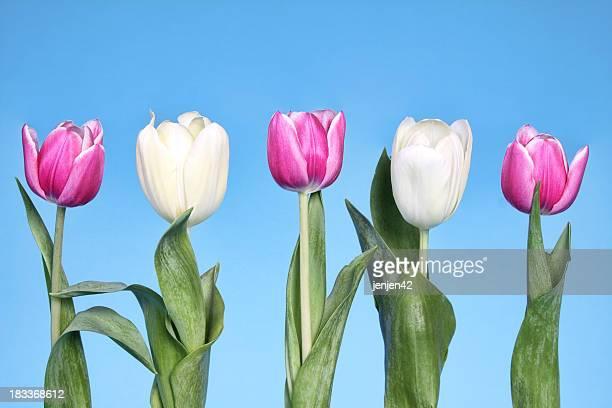 Fila de tulipanes