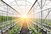 row of watermelon plant in big greenhouse