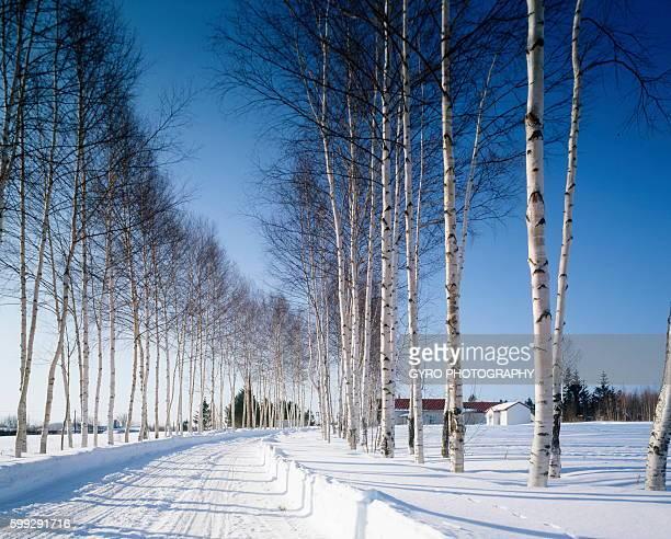 Row of white birch trees in snowy land, Hokkaido prefecture, Japan