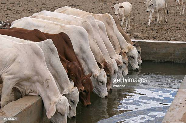 Row of young cattle drinking water in Isiolo, Kenya