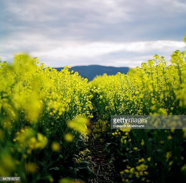 Row through blooming canola field