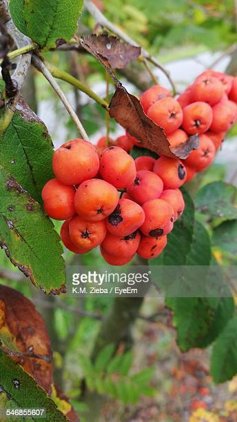Rowan Berries Hanging On Branch