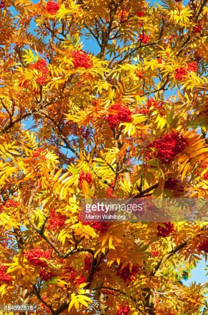 Rowan berry tree