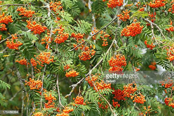 Rowan tree with red berry fruit