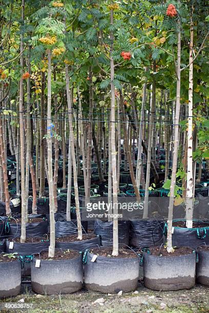 Rowan trees in garden centre, close-up