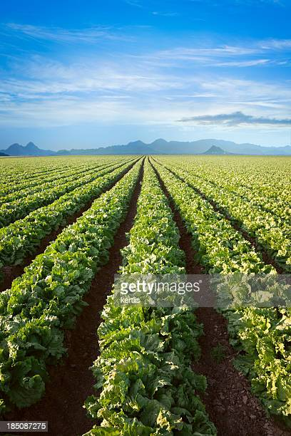 Salade fraîche (Green Field)