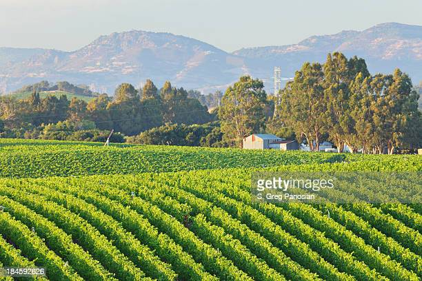 Rows of a vineyard landscape in bright green with trees