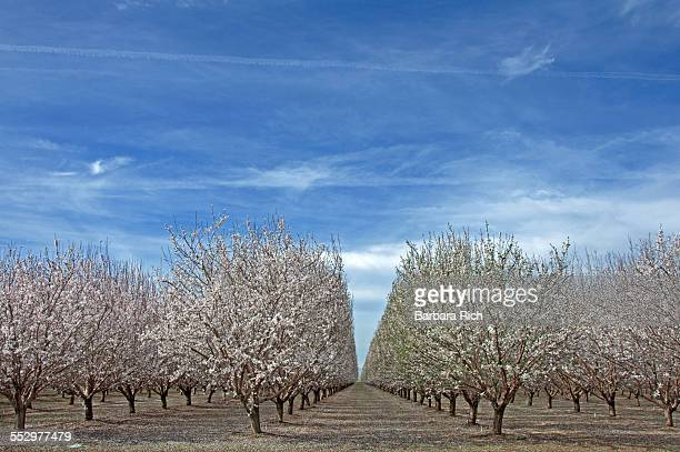 Rows of Almond trees in bloom under clouded sky