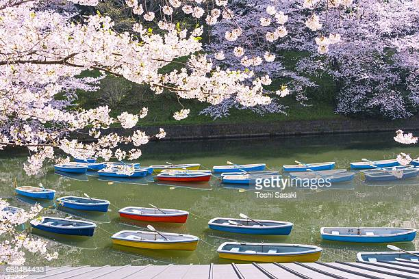 Rows of boats float under the Cherry blossoms.
