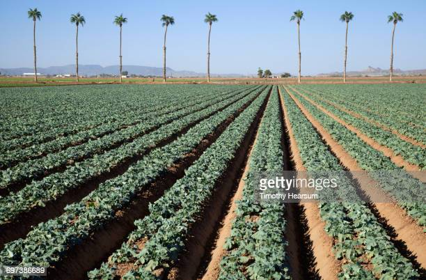 Rows of broccoli plants with palm trees beyond