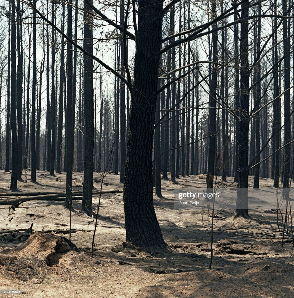 Rows of burnt trees. : Stock Photo