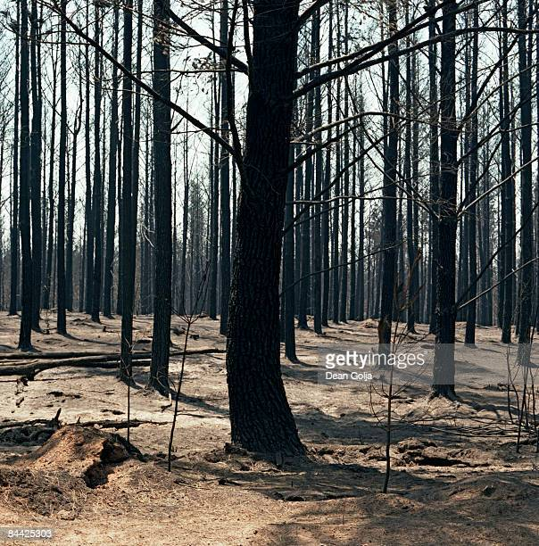 Rows of burnt trees.