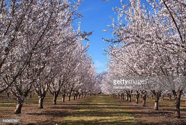 Rows of California Almond trees in bloom