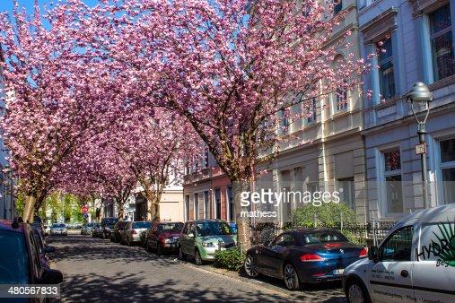 Rows of cherry blossom trees : Stock Photo