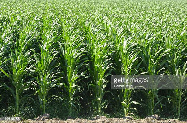 Rows of Corn Stalks Growing on a Farm