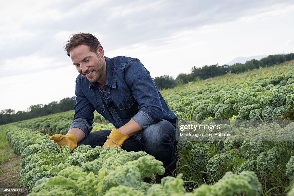 Rows of curly green vegetable plants growing on an organic farm.  A man inspecting the crop.