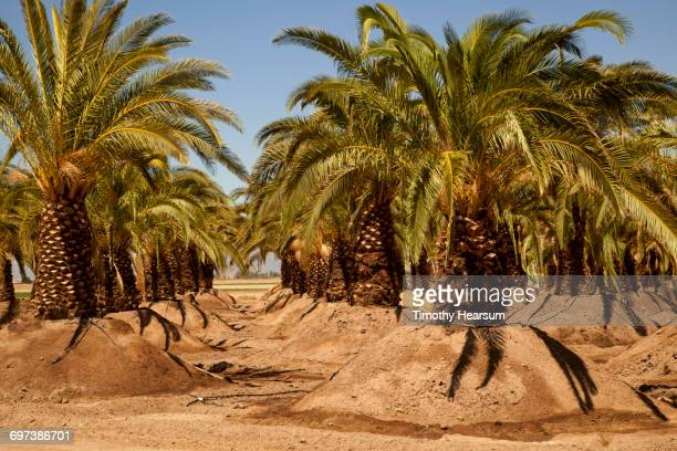 Rows of date palm trees planted in mounded earth