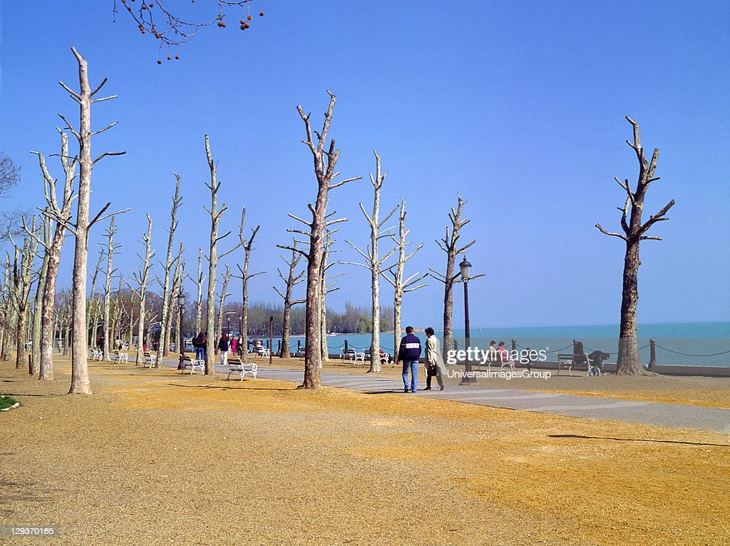 Rows of dead plane trees