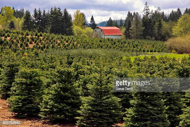 Noble Fir Tree Stock Photos And Pictures