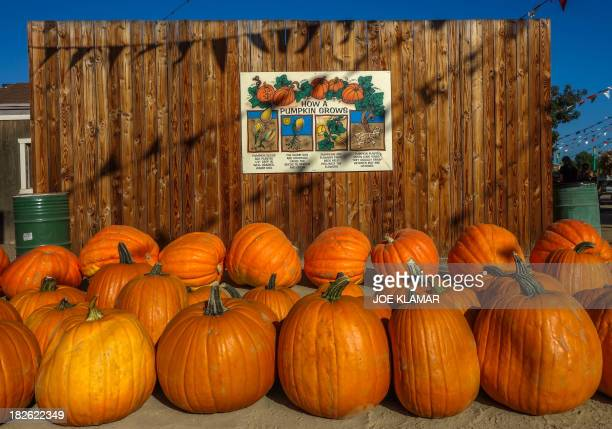 Rows of fresh large pumpkins are stocked for the upcoming Halloween at the Pierce College Farmer's Market in Woodland Hills California on October 01...