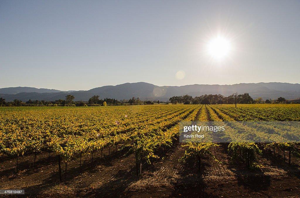Rows of grapes, Napa Valley