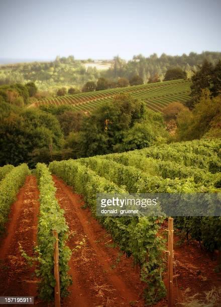 列の grapevines の丘のブドウ園