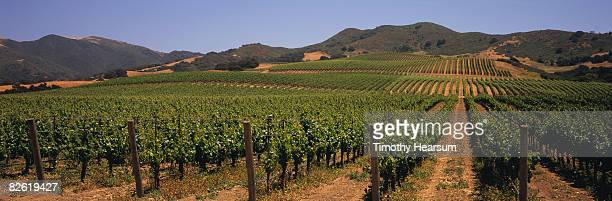 Rows of grapevines up hillside