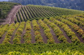 Rows of hillside merlot zinfandel and syrah are viewed at a Sonoma Valley vineyard on September 24 near Santa Rosa California The annual grape...