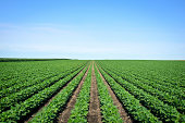 Rows of Iowa soybeans