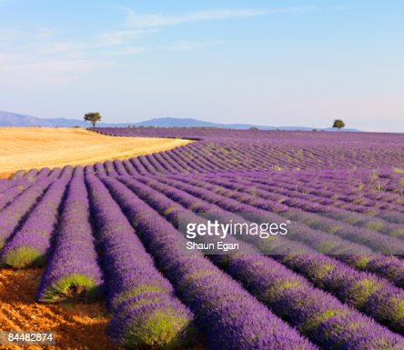 Rows of lavender on plateau