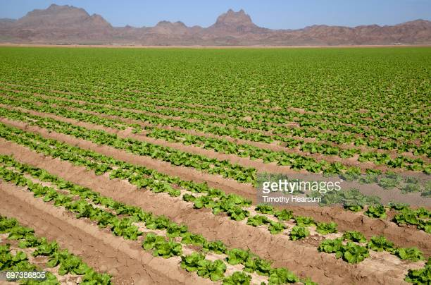 Rows of mid-growth lettuce; mountains beyond