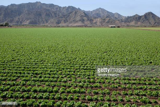 Rows of midgrowth lettuce plants; mountains beyond