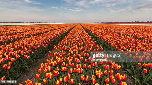 Rows of orange tulip flowers in field, Holland