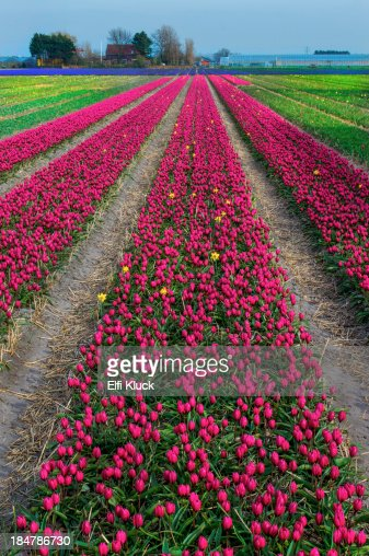 Rows of pink Tulips converge at horizon