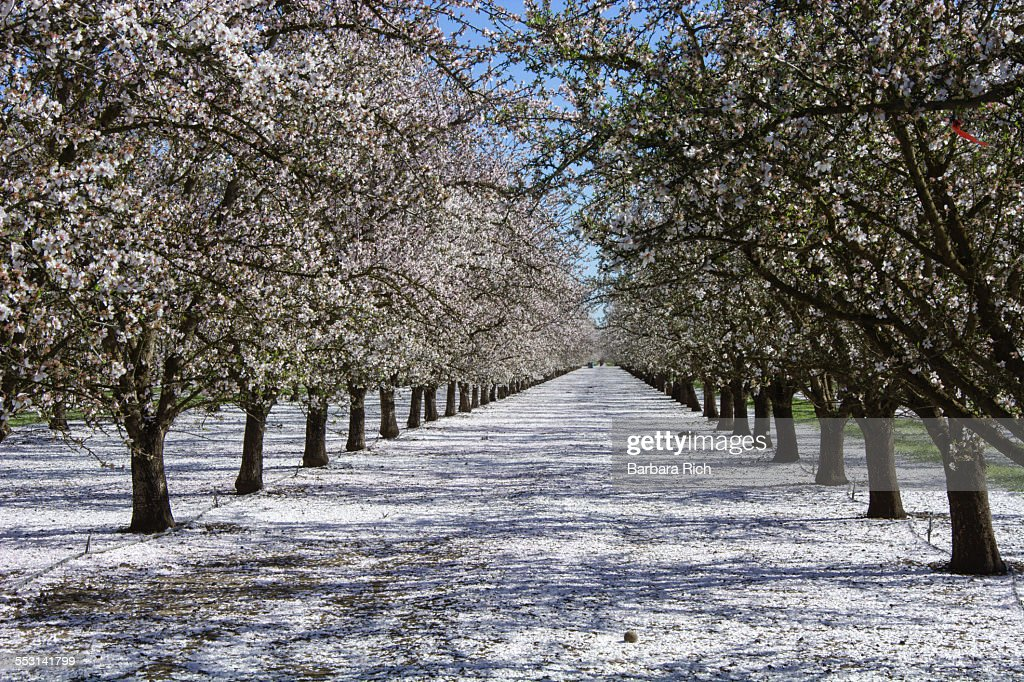 Rows of pollinated almond trees with petal drop