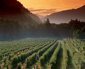 Rows of Rasberries at Cascadian Farm, Washington