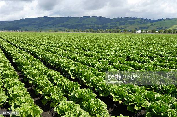 Rows of Romaine Lettuce Growing on Farm